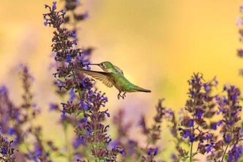 bird-hummingbird-fauna-flora-wildlife-lavender-1412916-pxhere.com